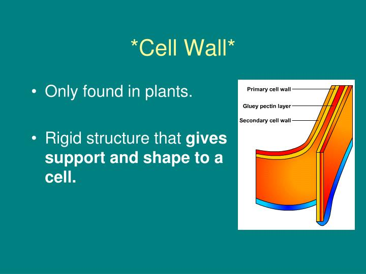 *Cell Wall*