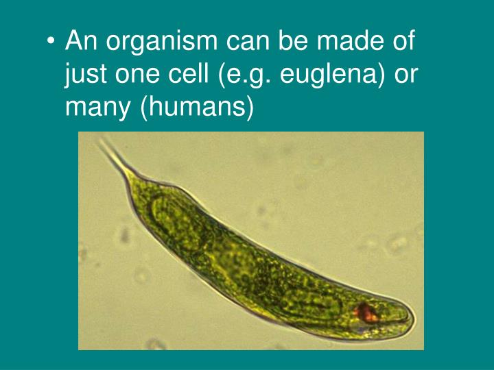 An organism can be made of just one cell (e.g. euglena) or many (humans)