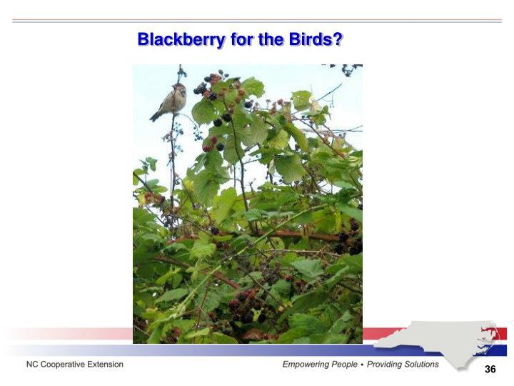 Blackberry for the Birds?