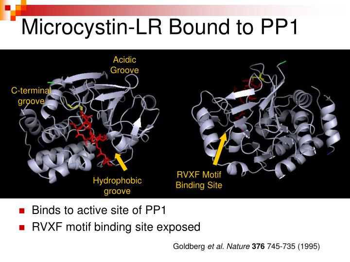 Microcystin-LR Bound to PP1
