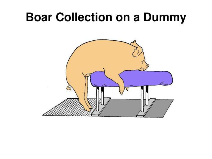 Boar Collection on a Dummy