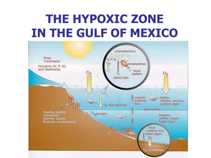 hypoxia in the gulf of mexico and Dead zones occur in many areas of the country, particularly along the east coast, the gulf of mexico, and the great lakes, but there is no part of the country or the world that is immune the second largest dead zone in the world is located in the us, in the northern gulf of mexico.