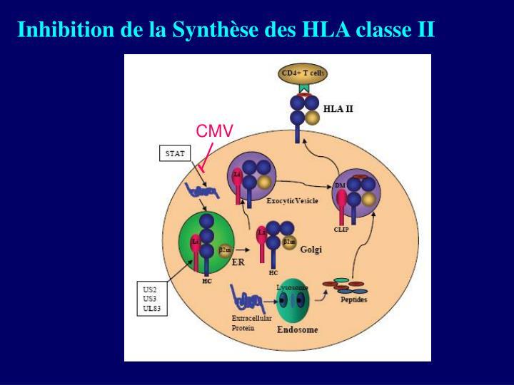 Inhibition de la Synthèse des HLA classe II