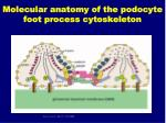 molecular anatomy of the podocyte foot process cytoskeleton