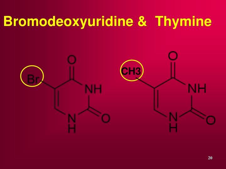 Bromodeoxyuridine &  Thymine