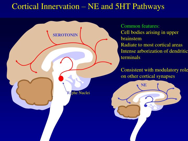 Cortical Innervation – NE and 5HT Pathways
