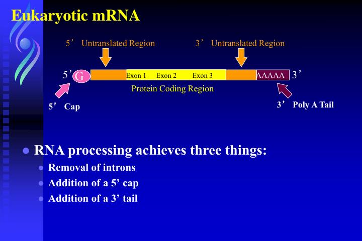 Eukaryotic mRNA