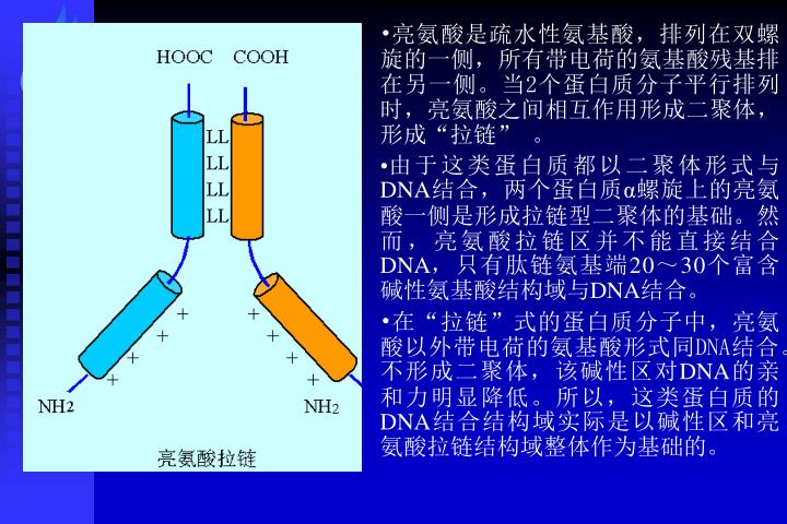 亮氨酸是疏水性氨基酸,排列在双螺旋的一侧,所有带电荷的氨基酸残基排在另一侧。当2个蛋白质分子平行排列时,亮氨酸之间相互作用形成二聚体,形成