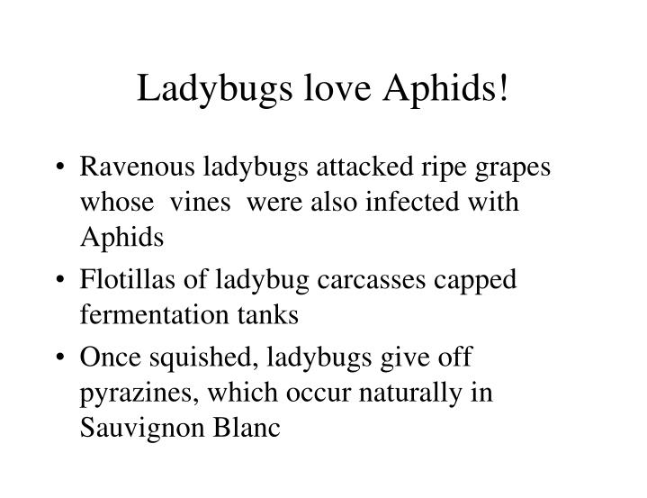 Ladybugs love Aphids!