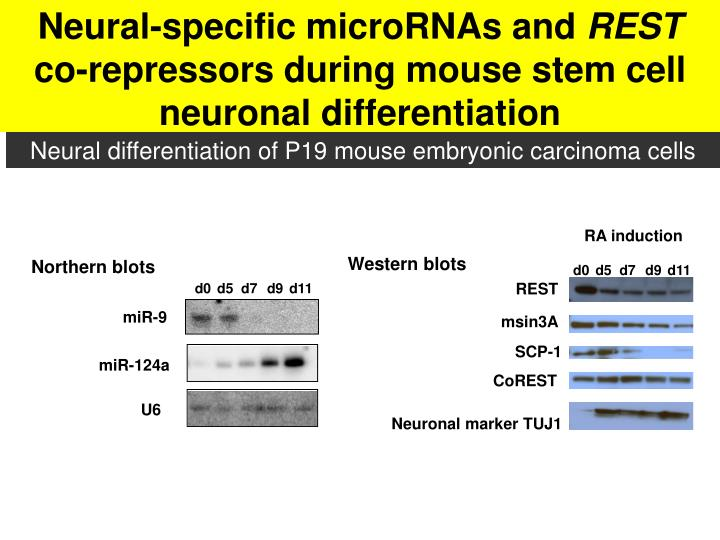 Neural-specific microRNAs and