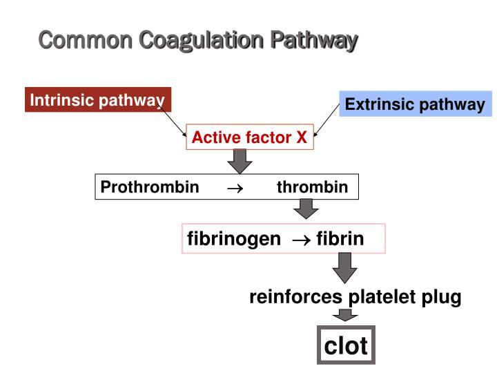 Common Coagulation Pathway