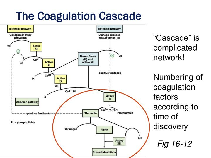 The Coagulation Cascade