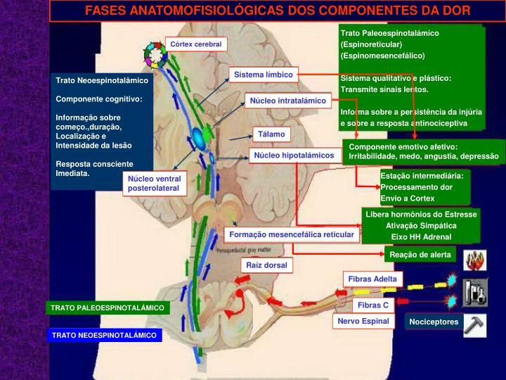 FASES ANATOMOFISIOLÓGICAS DOS COMPONENTES DA DOR
