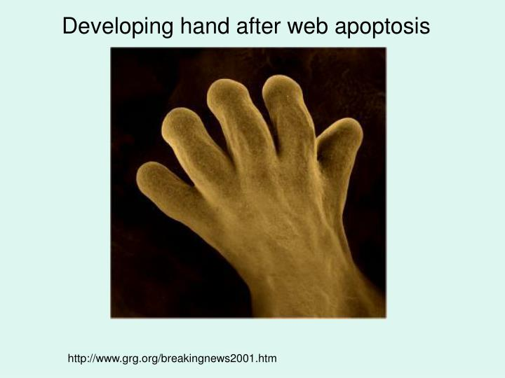 Developing hand after web apoptosis