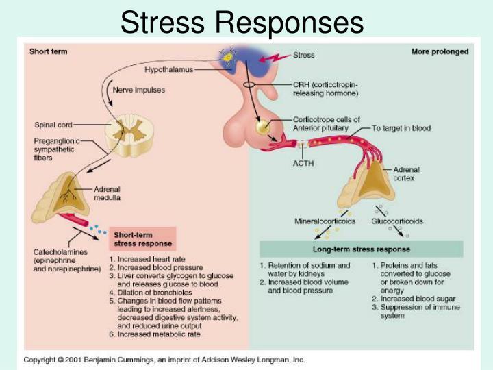 Stress Responses