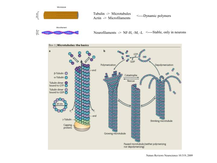 Tubulin  ->  Microtubules