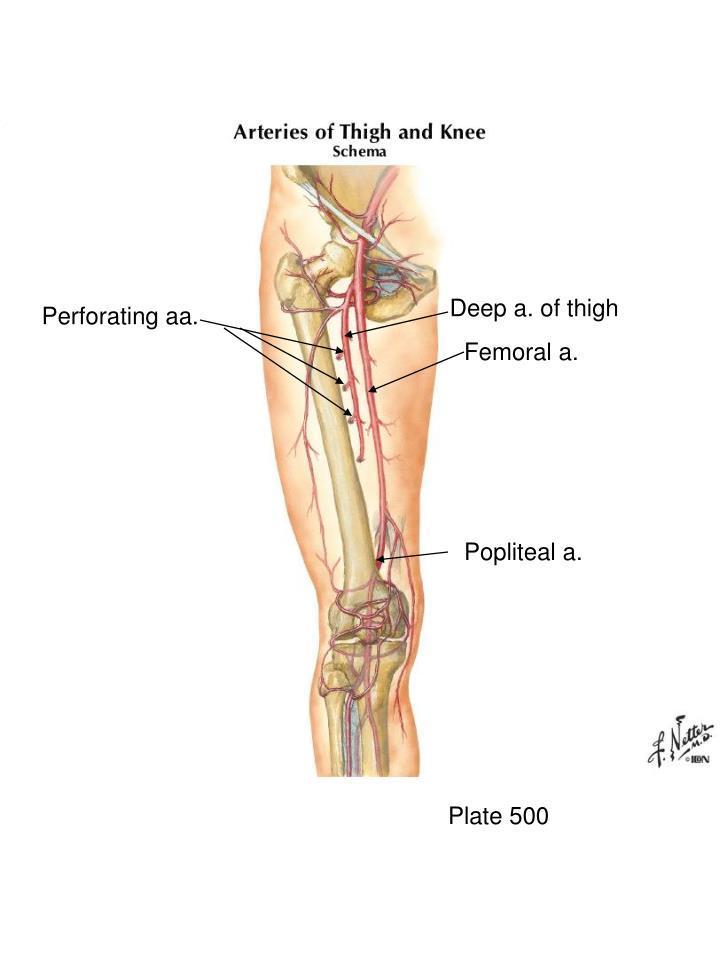 Deep a. of thigh