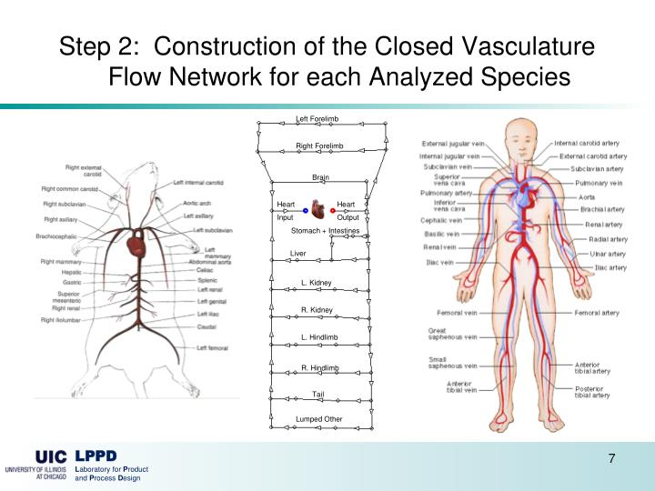 Step 2:  Construction of the Closed Vasculature Flow Network for each Analyzed Species