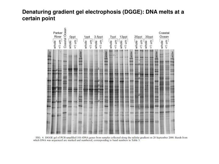 Denaturing gradient gel electrophosis (DGGE): DNA melts at a certain point