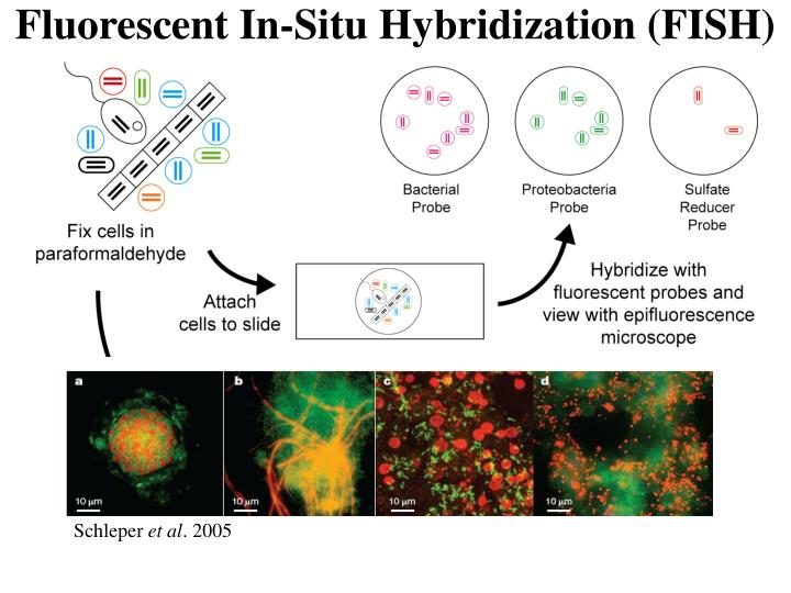 Fluorescent In-Situ Hybridization (FISH)