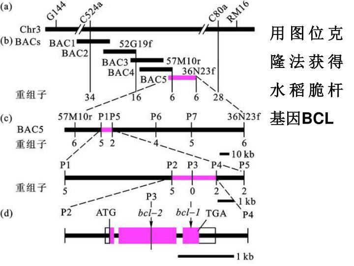 用图位克隆法获得水稻脆杆基因