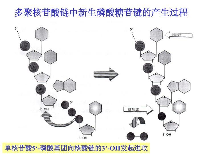 多聚核苷酸链中新生磷酸糖苷键的产生过程