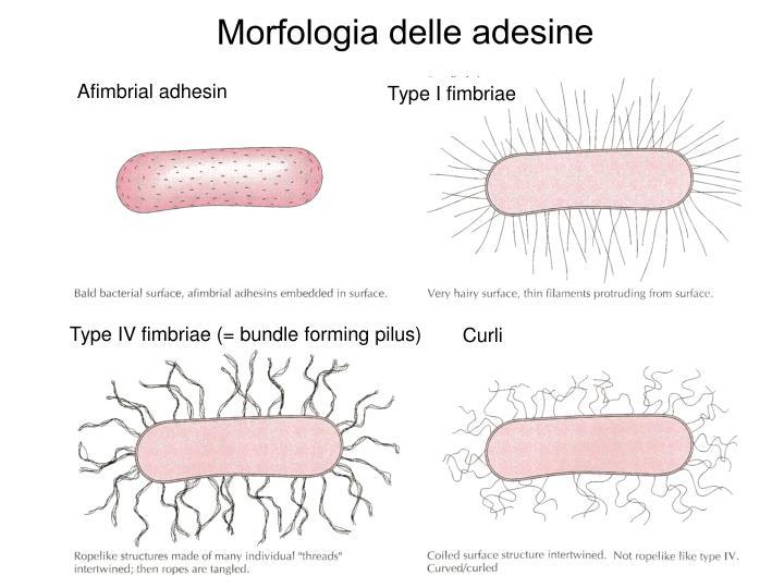 Morfologia delle adesine