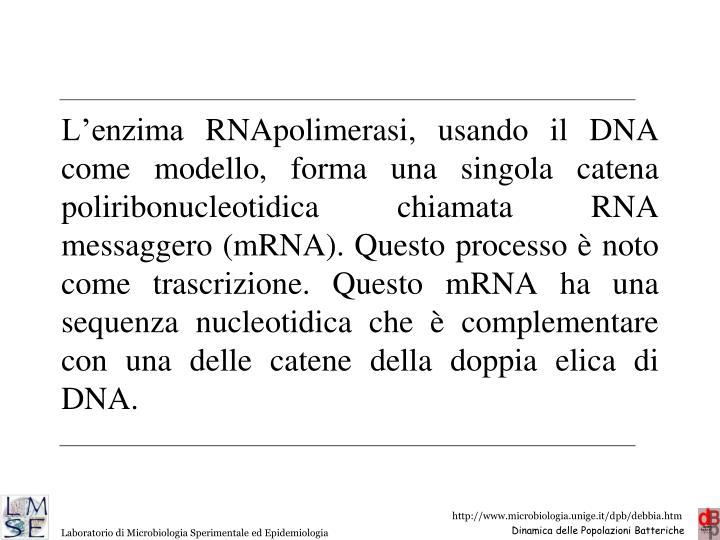L'enzima RNApolimerasi, usando il DNA come modello, forma una singola catena poliribonucleotidica chiamata RNA messaggero (mRNA). Questo processo è noto come trascrizione. Questo mRNA ha una sequenza nucleotidica che è complementare con una delle catene della doppia elica di DNA.