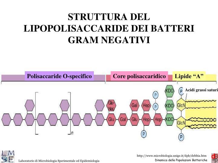 STRUTTURA DEL LIPOPOLISACCARIDE DEI BATTERI GRAM NEGATIVI