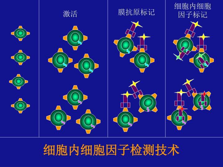 细胞内细胞因子标记