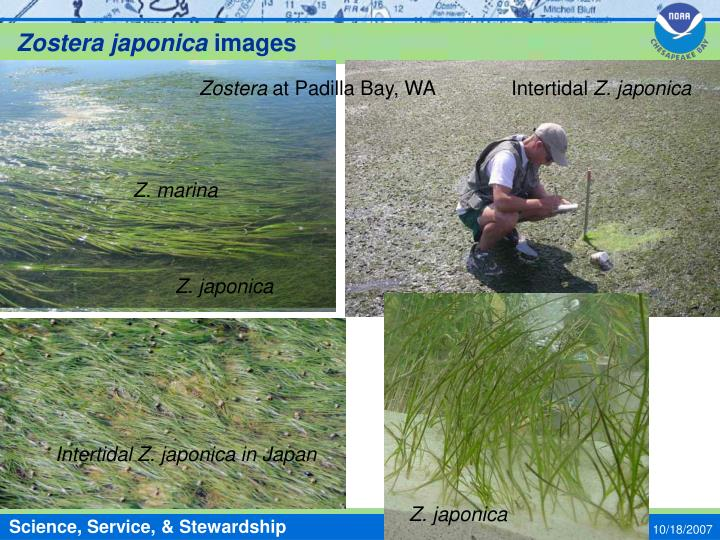 Zostera japonica