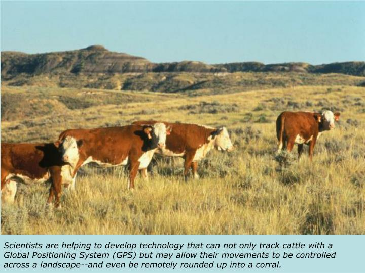 Scientists are helping to develop technology that can not only track cattle with a Global Positioning System (GPS) but may allow their movements to be controlled across a landscape--and even be remotely rounded up into a corral.