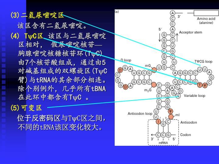 (3)二氢尿嘧啶区