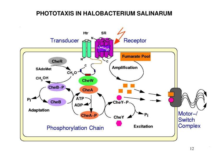 PHOTOTAXIS IN HALOBACTERIUM SALINARUM
