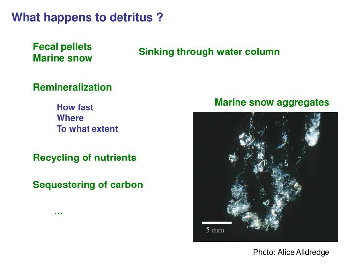 What happens to detritus ?