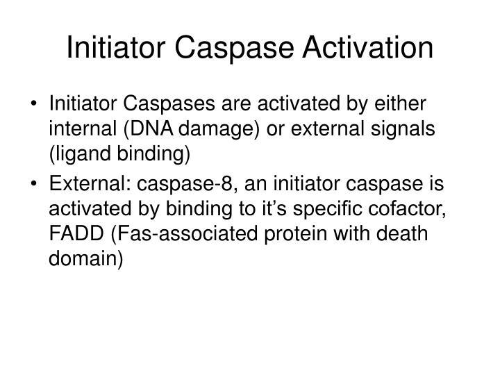Initiator Caspase Activation
