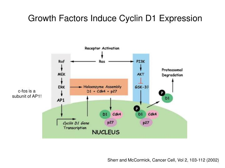 Growth Factors Induce Cyclin D1 Expression