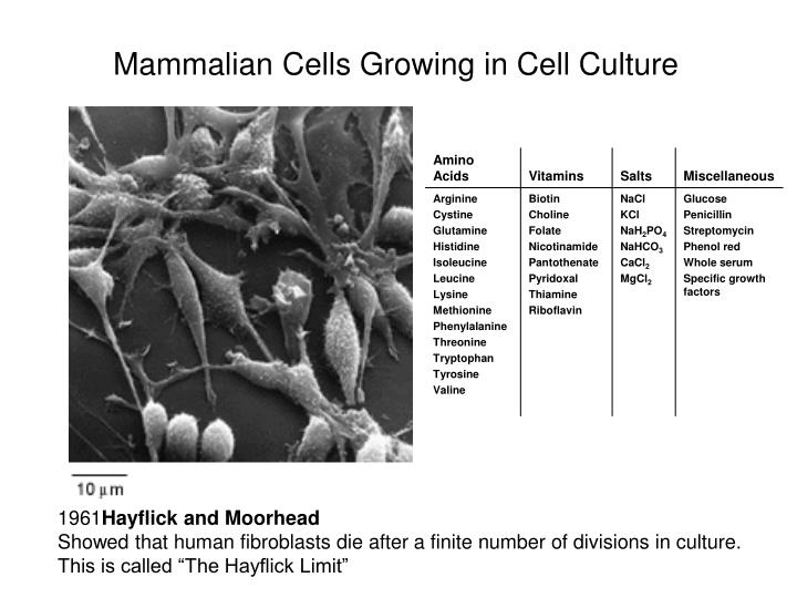 Mammalian Cells Growing in Cell Culture
