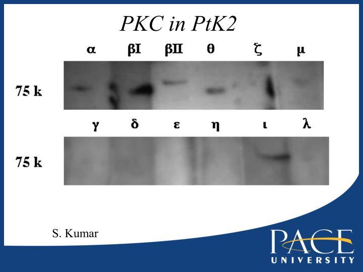 PKC in PtK2