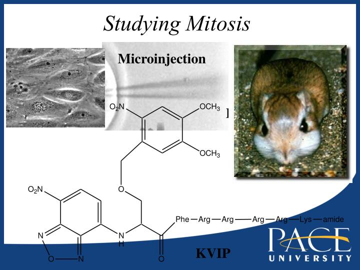 Studying Mitosis