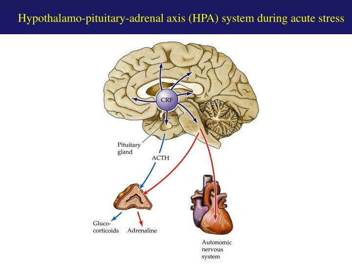 Hypothalamo-pituitary-adrenal axis (HPA) system during acute stress