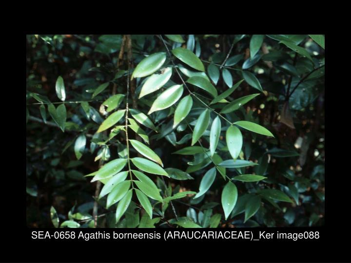 SEA-0658 Agathis