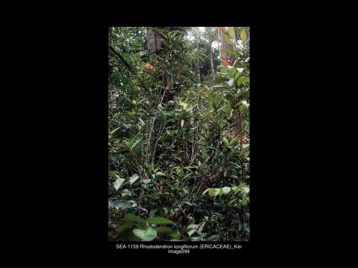 SEA-1159 Rhododendron longiflorum (ERICACEAE)_Ker image094