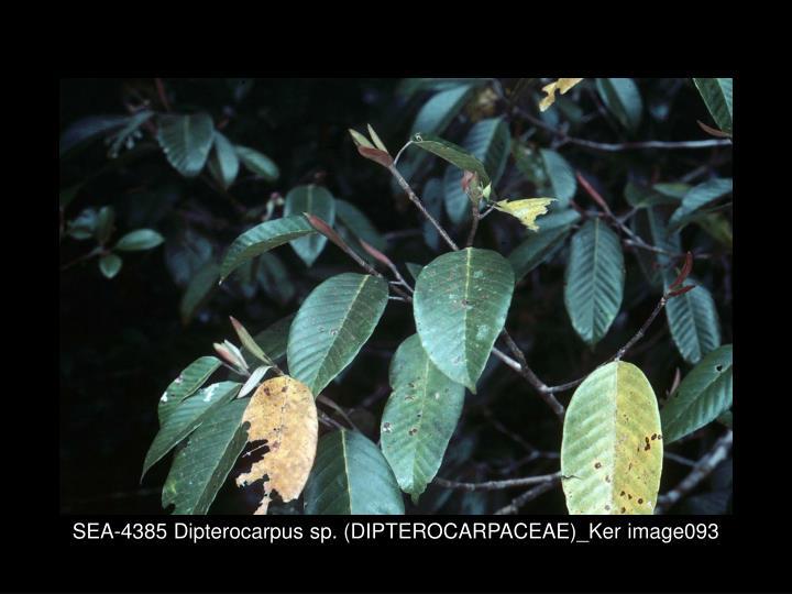 SEA-4385 Dipterocarpus sp. (DIPTEROCARPACEAE)_Ker image093