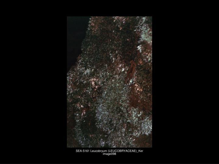 SEA-5161 Leucobryum (LEUCOBRYACEAE)_Ker image098