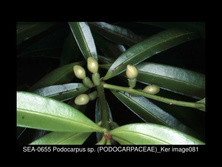 SEA-0655 Podocarpus sp. (PODOCARPACEAE)_Ker image081