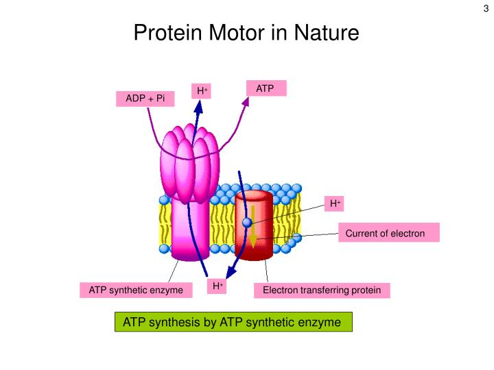 ATP synthesis by ATP synthetic enzyme