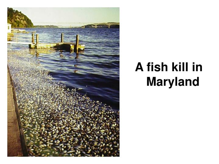 A fish kill in Maryland