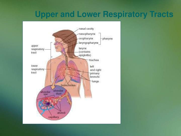 Upper and Lower Respiratory Tracts