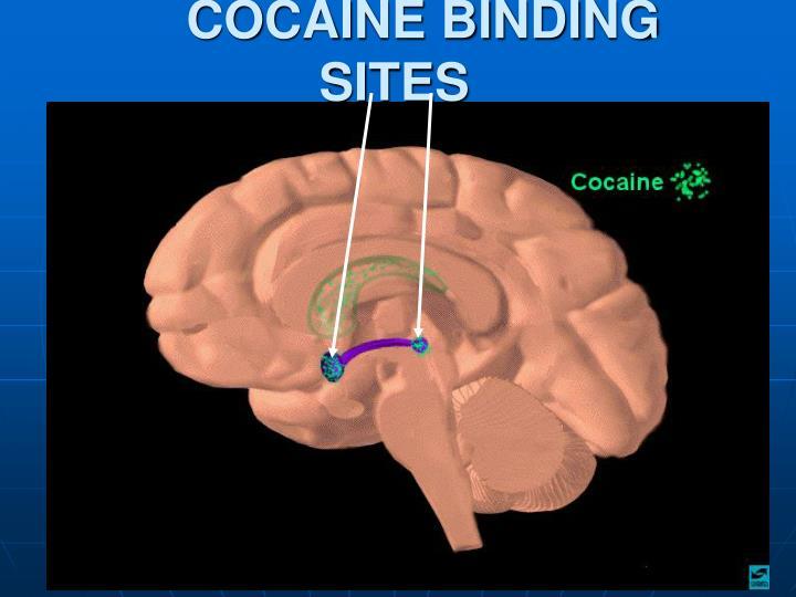 COCAINE BINDING SITES